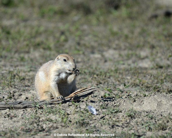Prairie dogs once commonly seen in the grasslands and prairies of the western united states they lived in family groups and greet each other by a prairie dog m4hsunfo