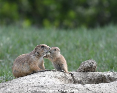 Prairie dogs greet each other by a prairie dog kiss or nuzzle their burrows are intricate enginneering feats resulting in a many room structure with listening rooms m4hsunfo