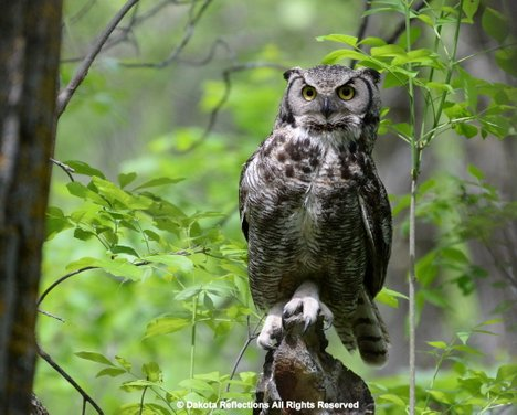 this owl eats rabbits and hares rats and mice and voles the great horned owl nests early often laying eggs weeks or even months before other raptors - Picture Of An Owl